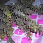 100均ダイソーで母親がユーカリの造花を買ってきたので・・・
